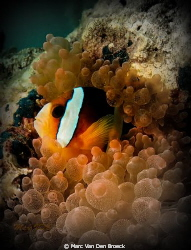 Clownfish by Marc Van Den Broeck 